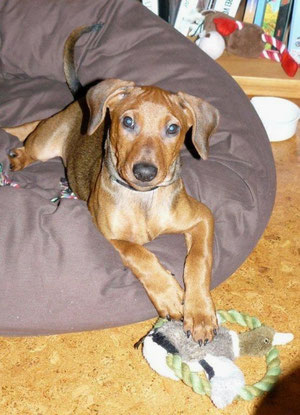 Basco vom Sylbachtal (Bojo) auf seinem Lieblingskissen (10 Wochen alt)