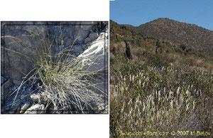 Nasella chilensis y Stipa plumosa