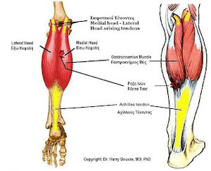 Picture by Dr. Harry Gouvas MD, PhD - The Acillies Tendon is the yellow part on the picture