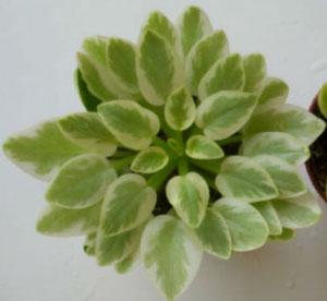 листовая химера