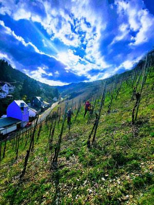 Weingut Binninger beim Reben schneiden im Weinberg Briedeler Herzchen