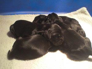 cuccioli 5 giorni di vita - cucciolata A chanel x johnny