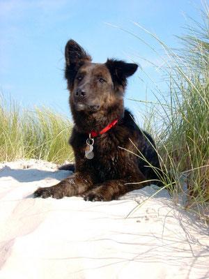 Lennox (Schäferhund-Collie-Mix) 2/99 - 5/09 innerhalb 3 Wochen gestorben an Nierenversagen. Ursache nicht geklärt. Vermutung Borreliose.