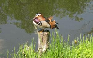 Ein Mandarin-Enterich besucht unsere Kanalwiese.