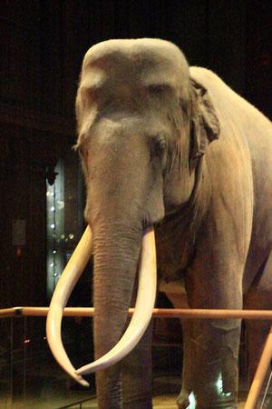 Eléphant d'Asie. Muséum d'Histoire Naturelle (Paris). (Source: Clerc).