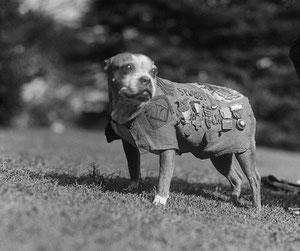 Sergent STUBBY, chien héroique et illustre de 14/18