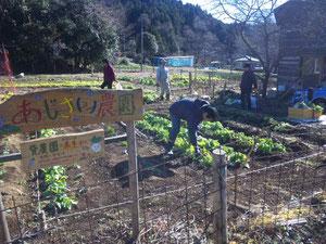 白菜収穫中(12月20日)M氏