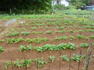 土寄せ完了、畝が高くなりました。5月30日