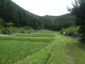倉谷さんの無農薬の段々畑