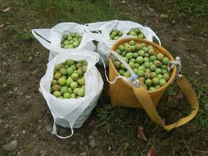 約1時間でおよそ20キロの収穫