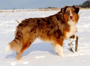 """Pepper Dogs Power Point """"Pepe"""" * 29.08.2011 (Australian Shepherd - red merle w/c)"""