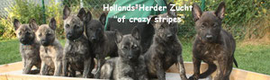 "Zucht HP ""of crazy stripes"""
