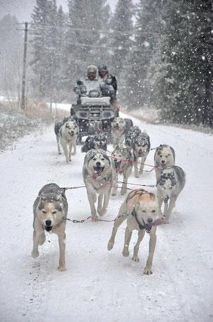 Hundeschlitten  in Fahrt