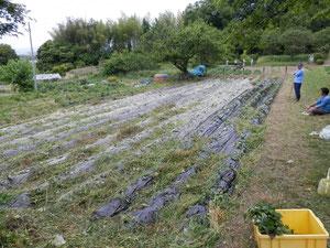 畝傍山西麓 県有地 サツマイモ畑