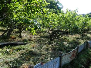 明日香 稲淵の柿畑
