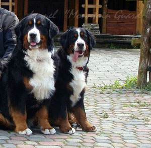 Bernese mountain dogs ,puppies ,for ,sale