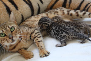 naissance litter portée frida extreme chaton disponible bengal rosette marble
