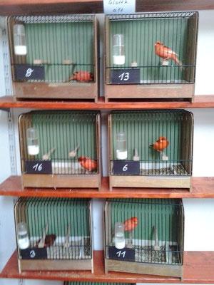 Die Siegervögel 2012 Deutsche Rotschecken Glattköpfe
