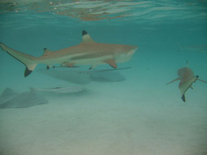 raies et requins de Moorea 2009