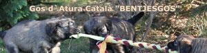 Gos d´Atura Catala
