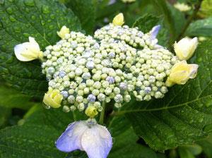 毎年バッサリ剪定しすぎて花が咲かなかったんですよ〜今年は満開・・・といっても額紫陽花なので華やかさはありません。それもまたいいですよね!