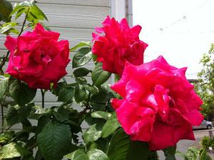 バラの季節になりましたね。治療院玄関脇のバラが思いっきり咲いてます!、