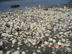 Abgestorbene Muscheln im Watt bei Nordstrandischmoor
