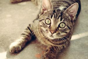 猫の画像(正面)、切り抜き後