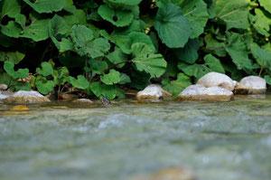 Cincle plongeur juvénile - Slovénie - Juillet 2010