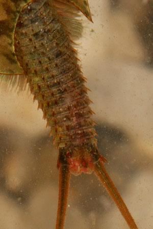 Triops - détail du telson portant les deux cerques