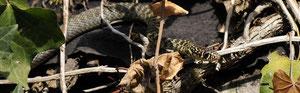 Couleuvre verte et jaune - Buxerolles (86) - septembre 2010