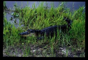 Alligator - Georgia (USA) - Juillet 1989 - Dias numérisée
