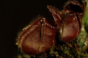 Cephalotus follicularis - Plante cultivée - Dias numérisée