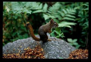 Ecureuil roux américain - Quebec (CA) - Août 1993 - Dias numérisée