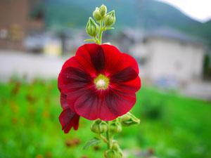 あおいがてっぺんまで咲いたら梅雨があけるそうです(*^_^*)