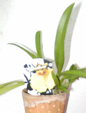 Petite Orchidée : ONCIDIUM...