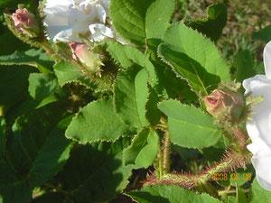Golden Moss - Knospe
