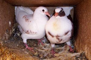 Pigeonneaux de 28 jours