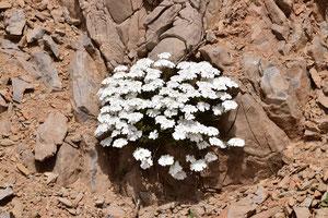 Iberis grosmiqueli, plante-hôte de la ssp. reisseri, ©Frédérique Courtin-Tarrier