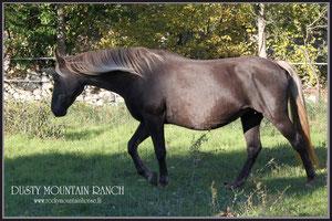 rocky mountain horse france