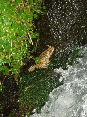 Der Froschkönig nimmt ein Bad
