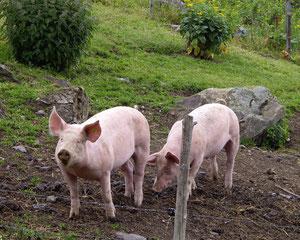 Alpschwein auf Alp Farur