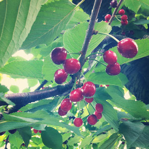 こちらが、先日収穫したシャボレー。酸味があり、アメリカンチェリーのような濃い赤色が特徴です。山ほど収穫してきたこのさくらんぼの種を取って、、