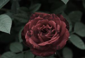 Rose rot 1