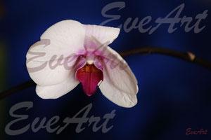 Orchidee auf Blau