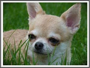 femelle chihuahua résultat exposition canine