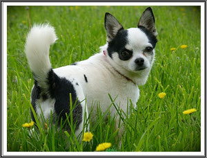 Exposition canine chihuahua - Résultat et récompense