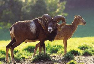 Muffelwidder mit Schaf, Quelle: wildundfreizeitpark.de
