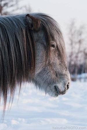 Якутская лошадь. Фото Болот Бочкарев. YakutiaPhoto.com