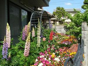 箕面4丁目 カラフルなルピナスやフリージア、 パンジーなどがお庭一杯に!